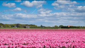 时间间隔 桃红色郁金香的领域在库肯霍夫地区在阿姆斯特丹,荷兰附近 4K 股票录像