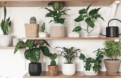 时髦的绿色植物和黑喷壶在木架子 现代行家室装饰 仙人掌,calathea,花叶万年青, 库存图片