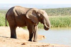 时间水的非洲人布什大象 免版税库存照片