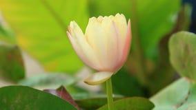 时间间隔和实时接近桃红色黄色莲花