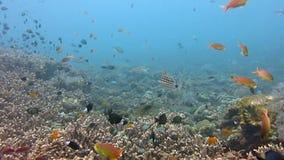 兴旺的珊瑚礁活与海洋鱼,巴厘岛生物和浅滩  股票录像