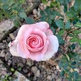 昂贵的玫瑰 库存照片