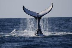 昆士兰注意的鲸鱼 免版税库存图片