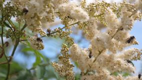昆虫从在分支的开花的黄色花收集花蜜 r t 蜂收集花蜜和