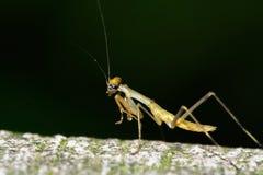 昆虫凶手 免版税图库摄影