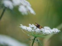 昆虫单独飞行特写镜头在基于在绿色和黄色背景的一个白色野胡萝卜的夏天 库存照片