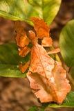 昆虫叶子 免版税库存照片