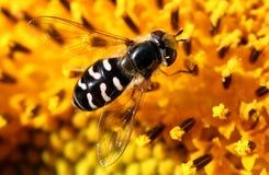 昆虫向日葵 免版税库存图片