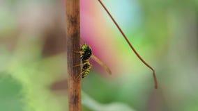 昆虫在夏天吃莓果 股票录像