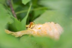 昆虫坐南瓜花 免版税图库摄影