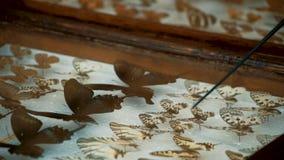 昆虫学收藏,在玻璃下的蝴蝶 影视素材