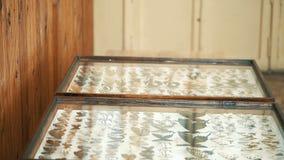 昆虫学收藏,在玻璃下的蝴蝶 股票录像
