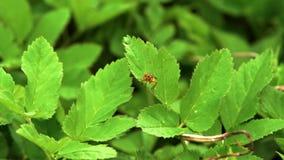 昆虫宏指令,黄色粪蝇Scathophaga stercoraria坐绿色叶子 股票录像