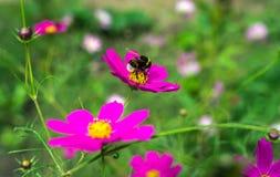昆虫弄糟蜂授粉一朵美丽的桃红色花 免版税库存图片