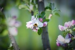 昆虫授粉树 图库摄影