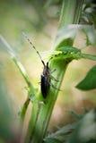 昆虫接近在植物 与长的antennaes的美丽的甲虫 库存图片
