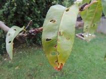 昆虫攻击的桃树叶子 库存图片