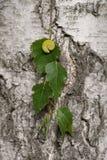昆虫毛虫在桦树叶子转动  免版税库存照片