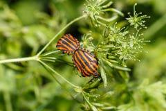 昆虫特写镜头的照片 盾臭虫的宏观照片在甲虫坐在开花中的一片叶子的森林里 昆虫 库存图片