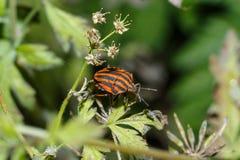 昆虫特写镜头的照片 盾臭虫的宏观照片在甲虫坐在开花中的一片叶子的森林里 昆虫 免版税库存图片