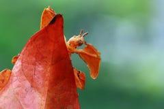 昆虫独特的phyllium 库存图片