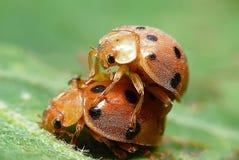 昆虫瓢虫2 免版税库存照片