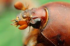 昆虫甲虫 免版税库存照片