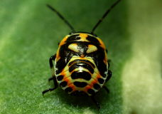 昆虫甲虫 库存图片