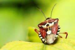 昆虫甲虫 免版税图库摄影