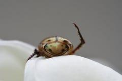 昆虫腰臀部分  免版税库存图片