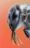 昆虫蜂黄蜂野生飞行自然宏指令大黄蜂 免版税库存图片