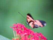 昆虫蝴蝶单独Helioconius erato搜寻一朵红色花和在绿色背景 图库摄影