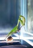 昆虫螳螂 免版税图库摄影