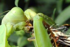 昆虫螳螂 免版税库存照片