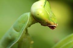 昆虫螳螂 免版税库存图片
