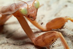 昆虫螳螂 库存图片