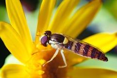 昆虫飞行或一只蜂在花 免版税库存照片