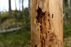 昆虫骚扰的树干 库存照片