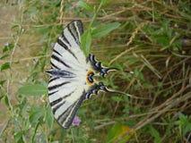 昆虫,熊山,明亮的颜色,罕见,翼,克里米亚半岛干草原 免版税图库摄影