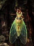 昆虫:蝉诞生东北领域 库存照片