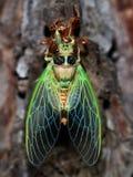 昆虫:蝉诞生东北领域 免版税库存照片