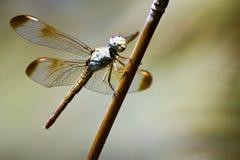 昆虫-蜻蜓在澳大利亚 图库摄影