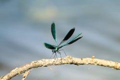 昆虫蜻蜓绿色呈虹彩秀丽坐树枝 免版税库存图片