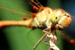 昆虫蜻蜓 免版税库存图片