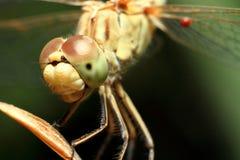 昆虫蜻蜓 免版税图库摄影