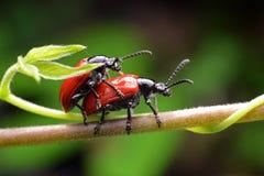 昆虫coccinella septempunctata 免版税库存图片