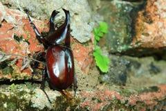 昆虫Kweagchn 图库摄影