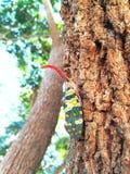 昆虫Lanternfly火葬用的柴堆坎德拉里亚角特写镜头  图库摄影