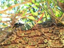 昆虫Lanternfly火葬用的柴堆坎德拉里亚角特写镜头  库存图片