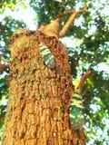 昆虫Lanternfly火葬用的柴堆坎德拉里亚角特写镜头  免版税库存图片